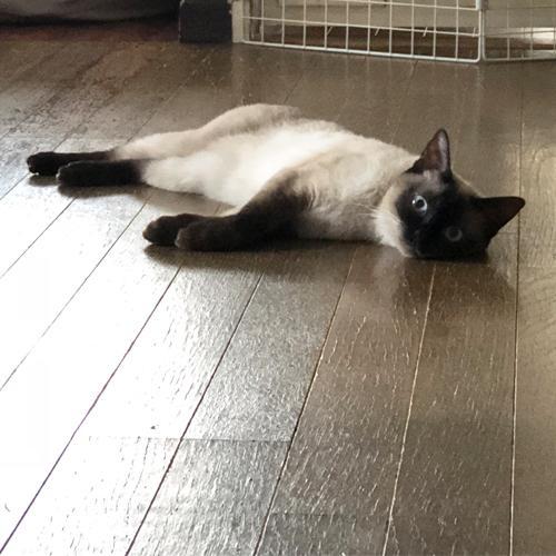 ニンゲン大好きでベタベタペロペロ猫だったのにウチの子になったその日から態度がツンデレに豹変した謎の猫。